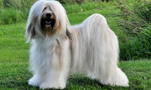 Dog Groomers Las Vegas - Tibeten Terrier